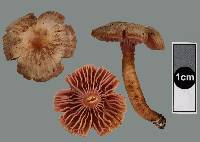 Hygrocybe lilaceolamellata image