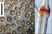 Tulostoma cyclophorum image