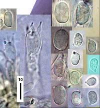 Hygrocybe firma image