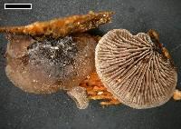 Resupinatus trichotis image