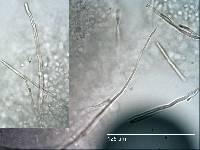 Russula griseoviolacea image