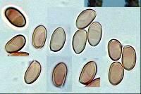 Galerina sideroides image