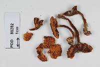 Image of Cortinarius myxenosma