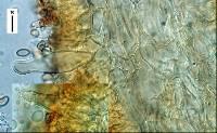 Phaeomarasmius lanatulus image