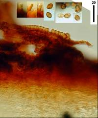 Gymnopilus ferruginosus image