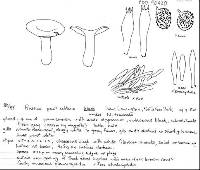 Russula solitaria image