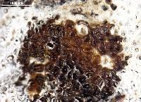 Resupinatus huia image