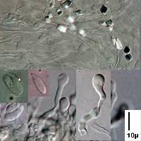 Cellypha goldbachii image