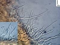 Hemimycena hirsuta image