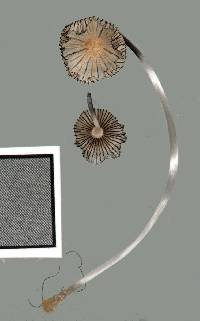 Coprinopsis patouillardii image