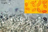 Heimiomyces neovelutipes image