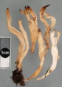 Clavulina subrugosa image