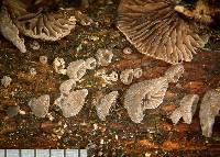 Resupinatus subapplicatus image