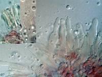 Mycena capillaripes image