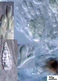 Peniophora incarnata image