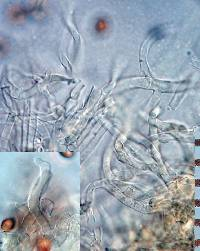 Crepidotus novae-zealandiae image
