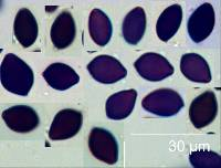 Panaeolus acuminatus image