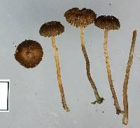 Psilocybe montana image