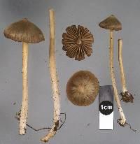 Entoloma cuneatum image