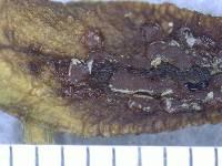 Orbiliopsis callistea image