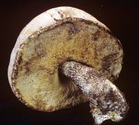Leccinum discolor image