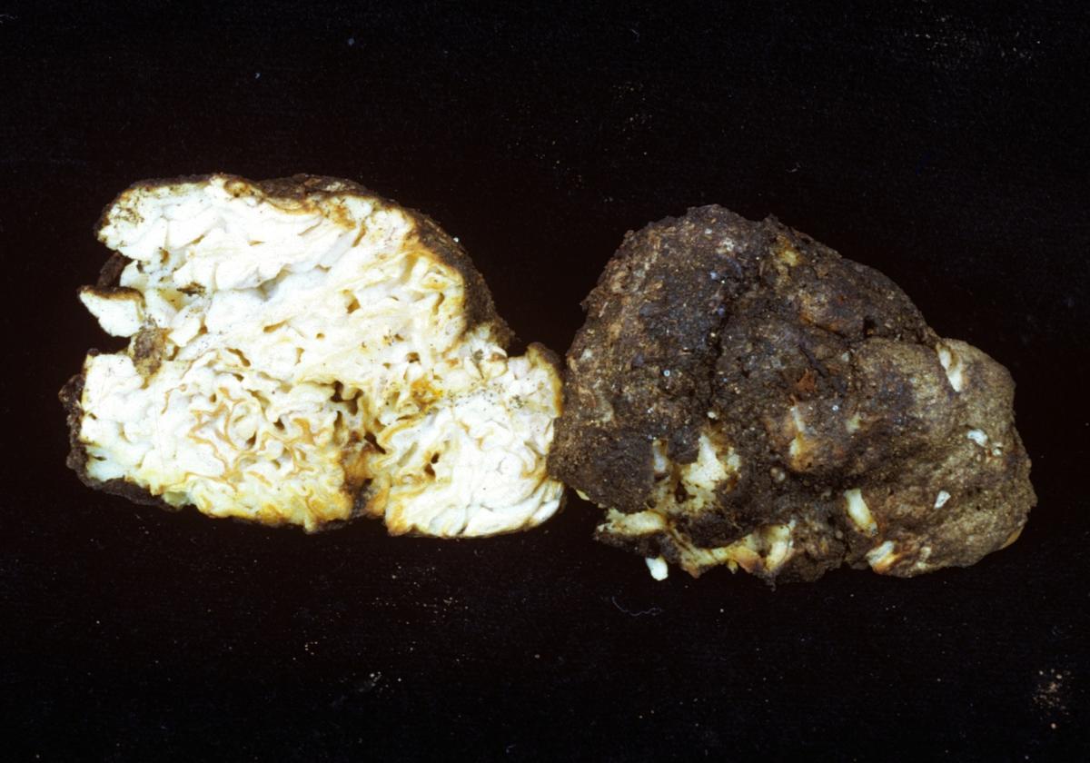 Pyronemataceae image
