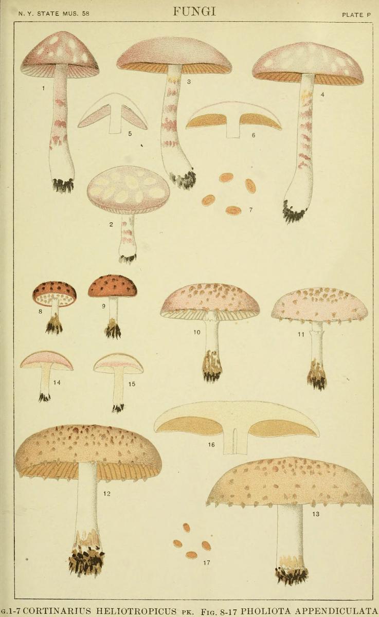 Pholiota appendiculata image