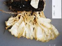 Sparassis spathulata image