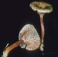 Image of Clitocybe cokeri