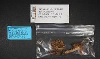 Tricholoma virgatum image