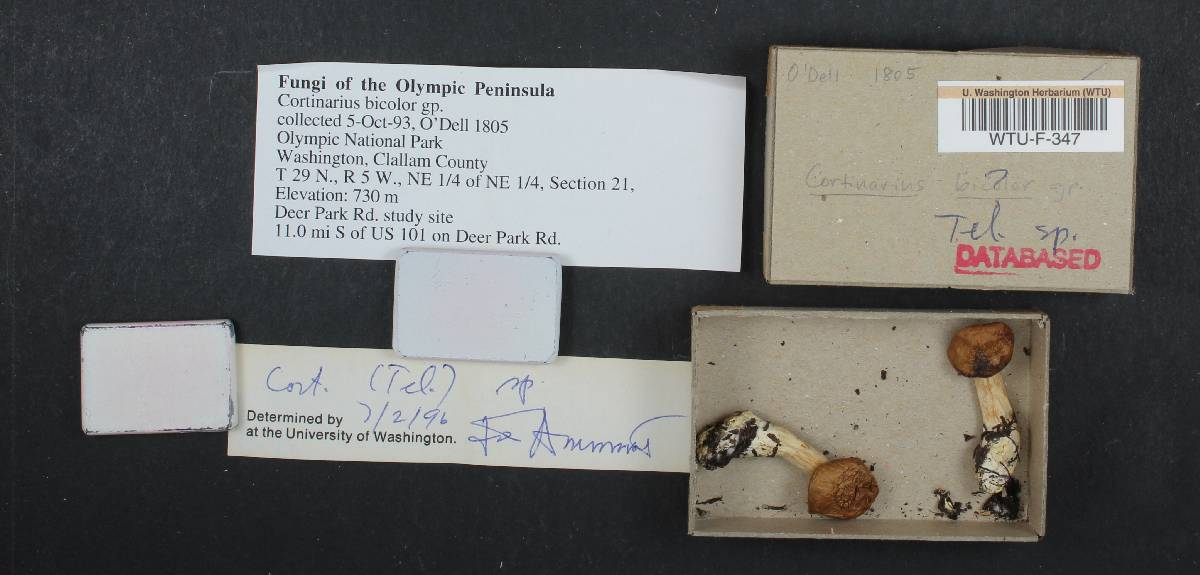 Cortinarius bicolor image