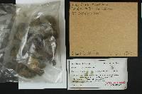 Tricholoma muricatum image