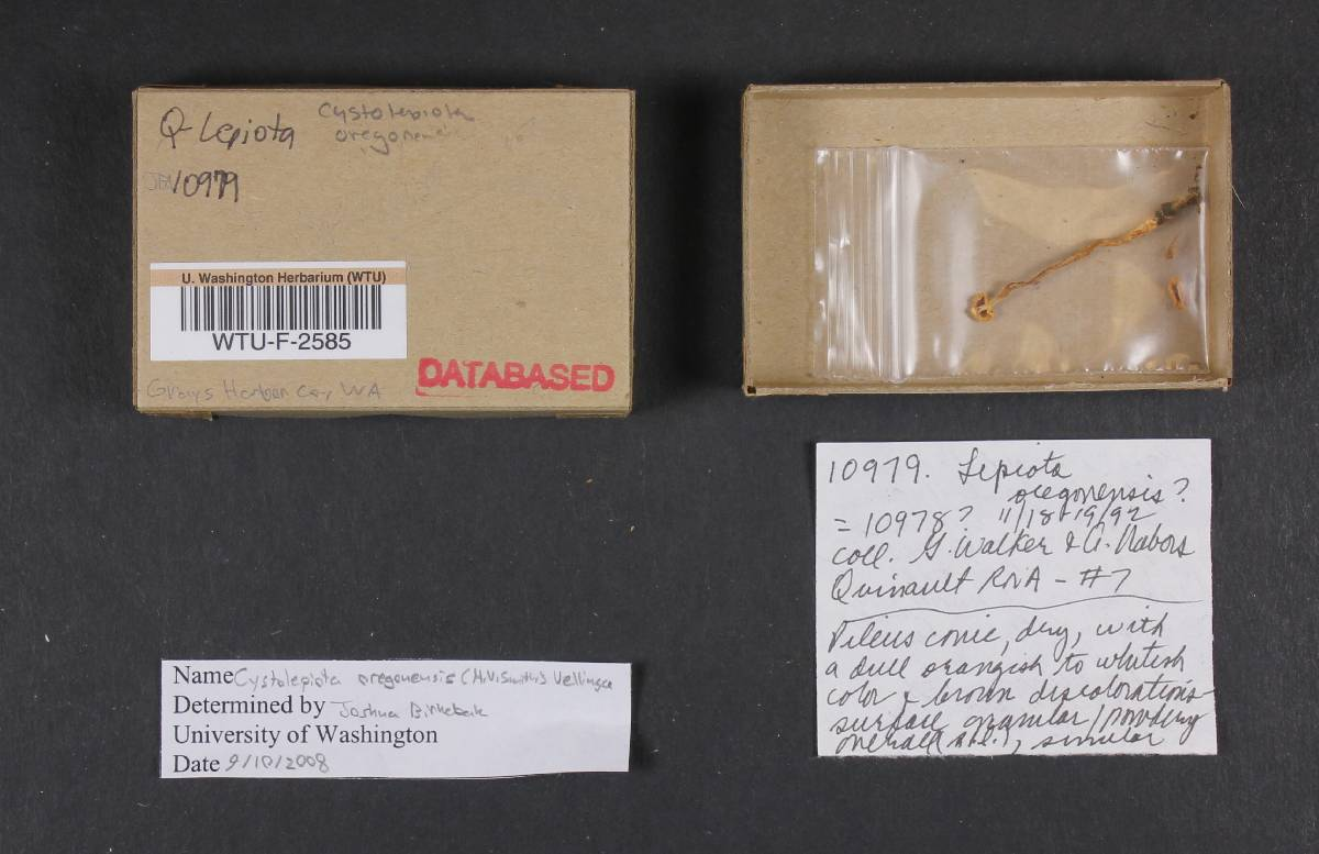 Cystolepiota oregonensis image