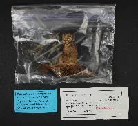 Russula adusta image