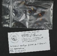 Marasmius epidryas image