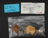 Hebeloma mesophaeum image