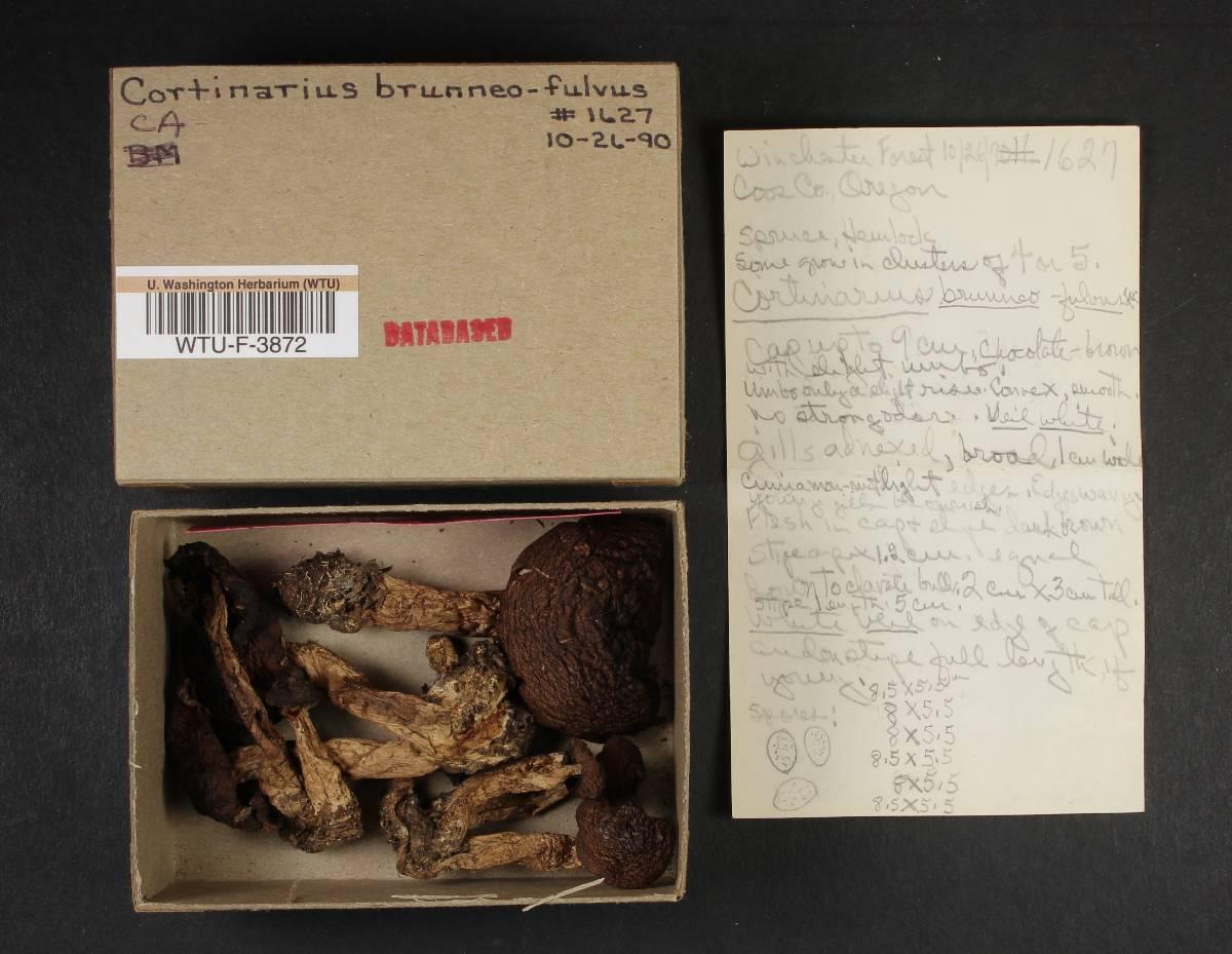 Cortinarius brunneofulvus image