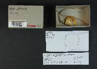 Collybia cylindrospora image