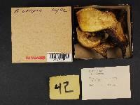 Boletus calopus image