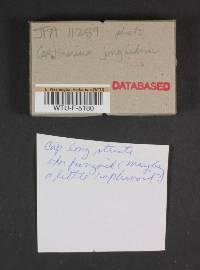 Cortinarius junghuhnii image