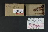 Chrysomphalina chrysophylla image