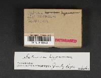 Galerina hypnorum image