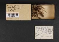 Mycena pelliculosa image