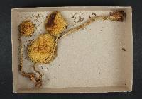 Stropharia hornemannii image