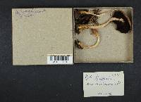 Psathyrella longistriata image