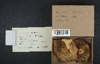 Russula ochroleuca image