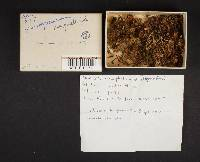 Xeromphalina campanelloides image