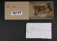 Hydnellum suaveolens image