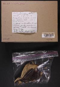 Sarcodon ustalis image