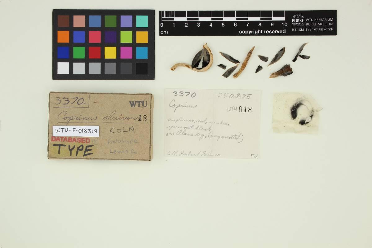 Coprinus alnivorus image